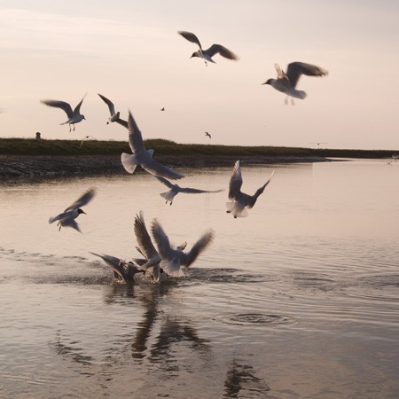 Sea Gulls in Blakeney Harbour
