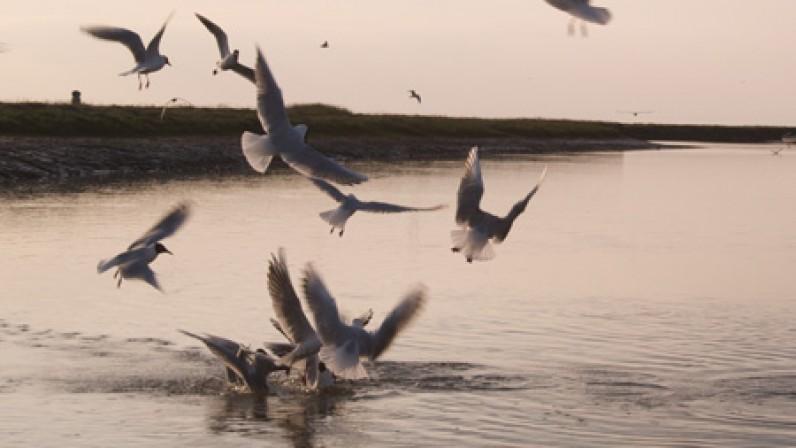 Sea Gulls in Blakeney Harbour