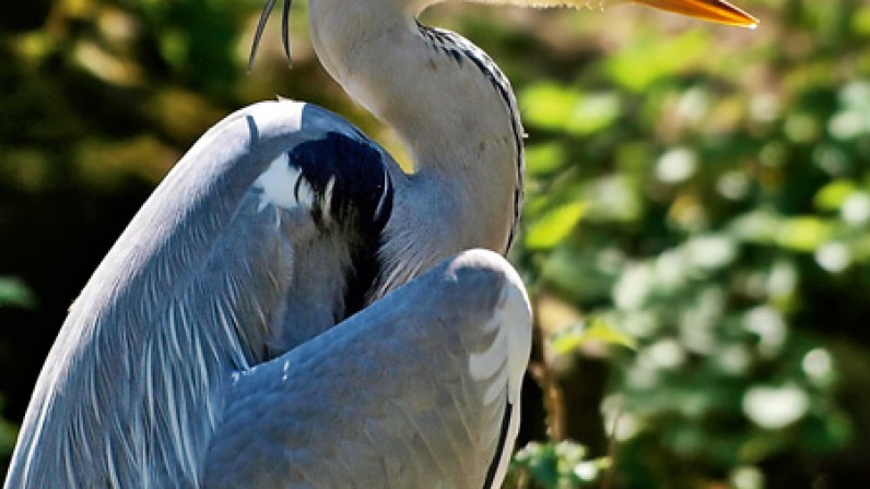 Heron at Pensthorpe Fakenham