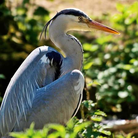Heron at Pensthorpe Fakenham