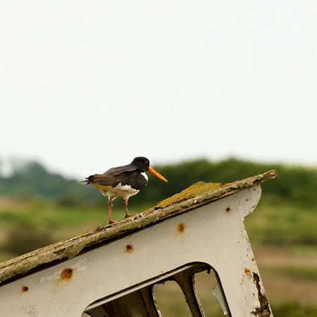 Oyster Catcher on Boat cab Thornham Harbour