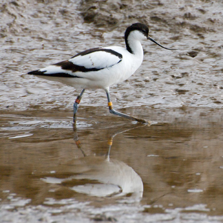 Avocet in the Mud on Titchwell Marsh
