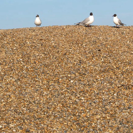 Gulls on the shingle banks at Salthouse beach Norfolk